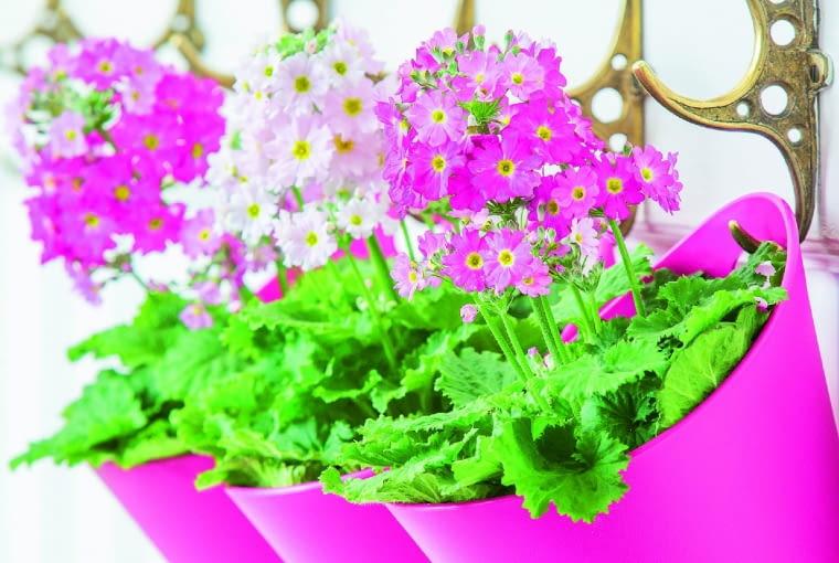 pierwiosnki ślimakowate z serii Prima mogą kwitnąć wiele tygodni.
