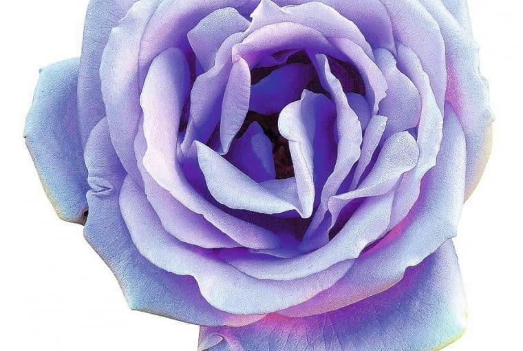 ONE TIME USE ONLY DO JEDNORAZOWEGO UZYCIA KRZEW LISCIASTY ROZA ROSA MAMY BLUE FOT. TOMEK CIESIELSKI / BANKFOTO.NET PUBLIKACJA OGRODY NR 6 (74) - 6.2005 SLOWA KLUCZOWE: ROSLINY KWIATY