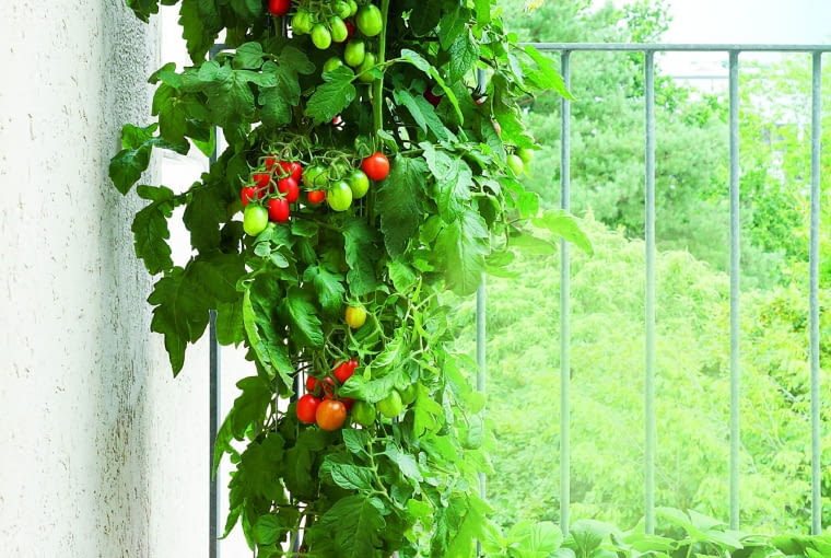 Na pomidorach uprawianych w pojemnikach dojrzewa już sporo owoców.