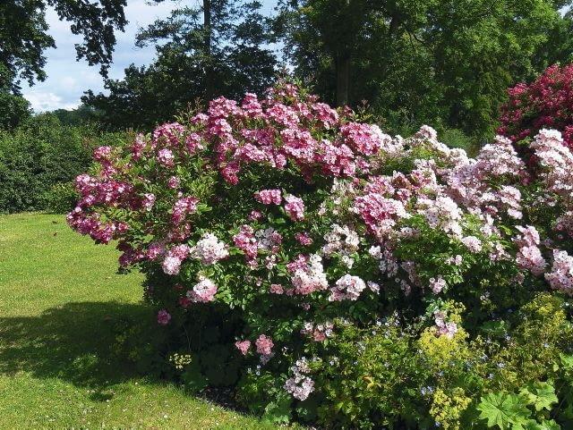 Francis Lester, mieszaniec róż piżmowych