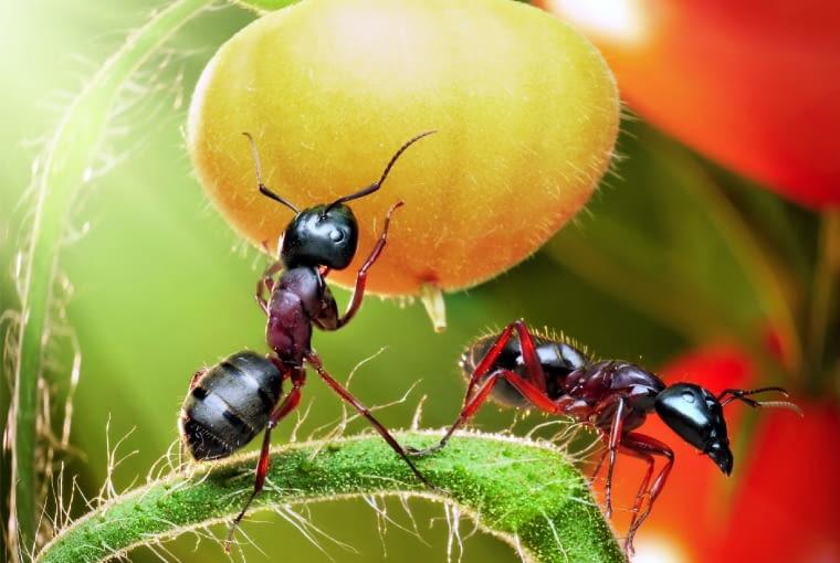Czasami mrówki uszkadzają owoce lub pąki kwiatów, chcąc dostać się do smakowitego soku czy nektaru.
