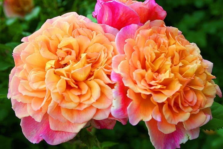 'Aloha' - róża pnąca, wys. 3,5 m, kwiaty o śr. 9 cm.