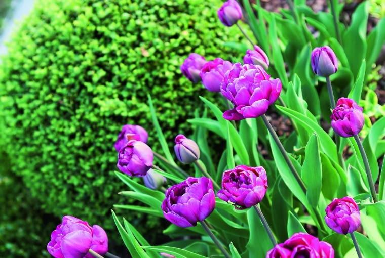 Uwielbiam tulipany - prawda, że pięknie komponują się z kulkami bukszpanów?