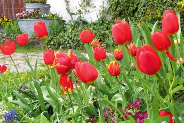 Festiwal tulipanów to prawdziwe święto wiosny.