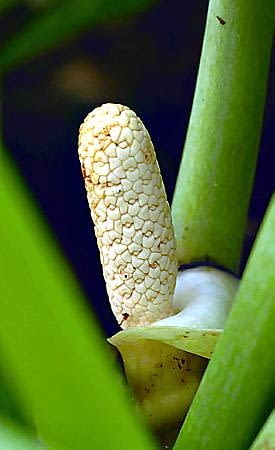 Zamiokulkas zamiolistny (zamioculcas). Niezniszczalna roślina do mieszkania