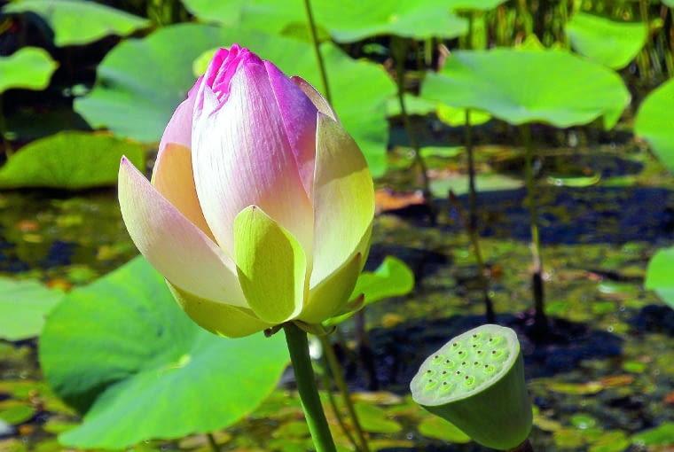 Na dalekim wschodzie kwiat lotosu symbolizuje czystość.
