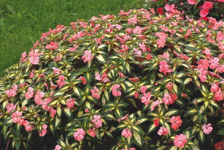 Niecierpek Sunpatiens (Impatiens) Jest to grupa wyjątkowo dorodnych i odpornych sezonowych niecierpków. Rośliny z serii Vigorous osiągają wysokość 80 cm. Seria Spreading o dwubarw-nych liściach jest nieco niższa. Niecierpki Sunpatiens obficie kwitną od wiosny do silniejszych przymrozków, na słońcu, w cieniu, także w deszczową pogodę. Jesienią można ukorzenić sadzonki i przechować je do wiosny w pomieszczeniu. Na zdjęciu: odmiana 'Spreading Salmon'.
