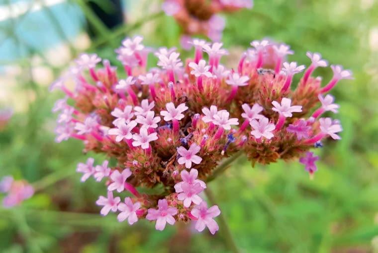 Werbena patagońska, Verbena bonariensis