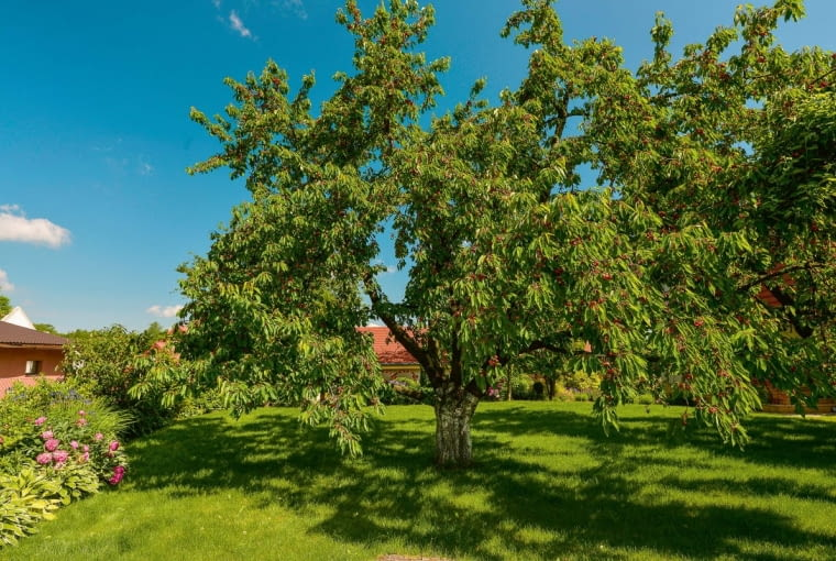 Czereśnia - królowa ogrodu, dzięki której latem staje się on centrum rodzinnych spotkań iżycia towarzyskiego.