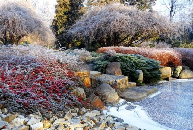 Ujmujące piękno początków zimy: oszronione irgi, bryła jałowca, rdzawy łan strzyżonej tawuły japońskiej i prowadzone w formie drzewek glicynie kwieciste (Wisteria floribunda)