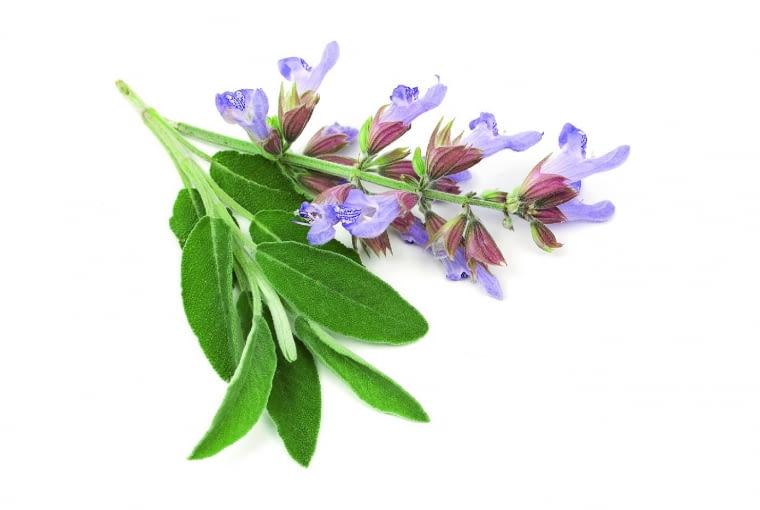 Pędy szałwii ścinamy tuż przy ziemi 2-3 razy w sezonie przed rozwinięciem się kwiatów.