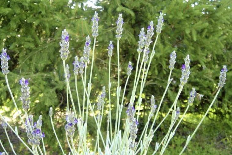 Lavandula lanata ma srebrnoszare, bardzo aromatyczne listki i ciemnoniebieskie kwiaty
