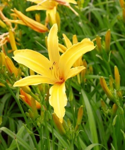 Byliny, które można rozmnażać wiosną przez podział - Liliowiec