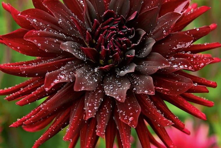 'Chat Noir' - dalia półkaktusowa, wys. 90-120 cm, śr. 'kwiatu' 15-20 cm.