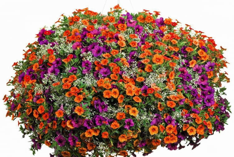 SLOWA KLUCZOWE: Calibrachoa Diamond Frost Dreamsicle Euphorbia Hanging Basket Plum Proven Winners Superbells