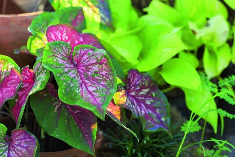 Kaladium 'Scarlet Flame' liście ma wiosną ilatem (do wysokości 50 cm), zimę przesypia wpostaci bulw.