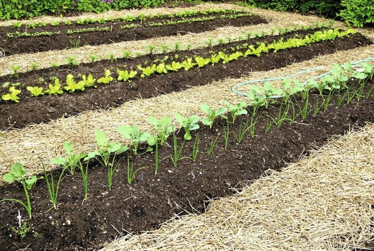 Z grządek możemy już zbierać wczesne odmiany rzodkiewki i sałatę (w miejsce po nich wysadzamy rozsadę pomidorów, ogórków lub ziół). Rosną też szczypiorek, rabarbar, szczaw i pietruszka pozostawiona w ziemi jesienią. Na surówki warto zbierać również młodą pokrzywę