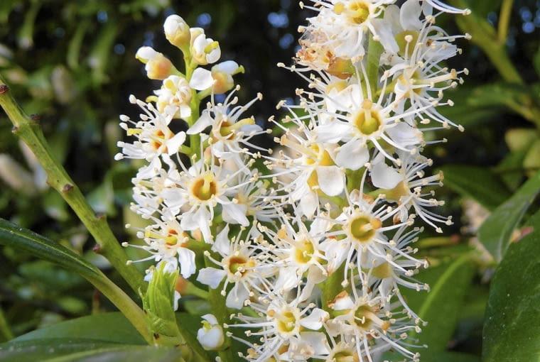 Białe kwiaty laurowiśni zebrane są w strzeliste kwiatostany i pięknie wyglądają na tle ciemnych skórzastych liści.