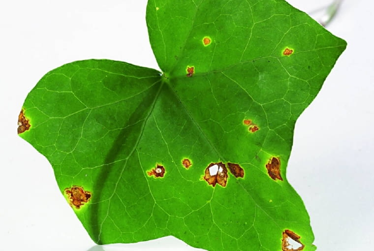 Na liściach bluszczu pojawiają się żółte, a następnie brązowe plamy. Przyczyna: bakteryjna plamistość bluszczu.
