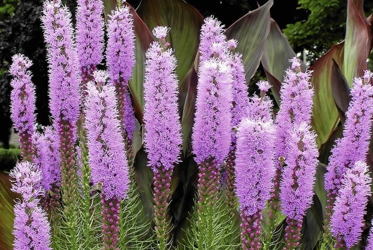 Liatra kłosowa (Liatris spicata)