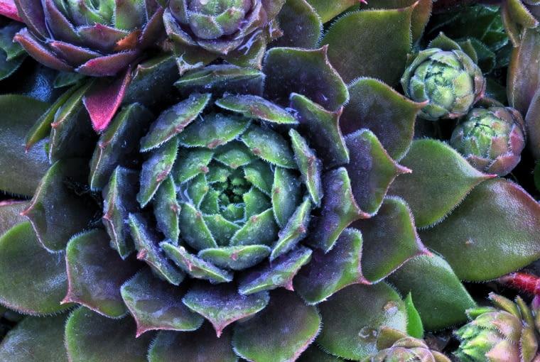 zima: Gdy temperatura spada do zera, liście podbarwiają się na fioletowo i tracą nieco wilgoci. To sprawia, że rośliny stają się odporniejsze na mróz.