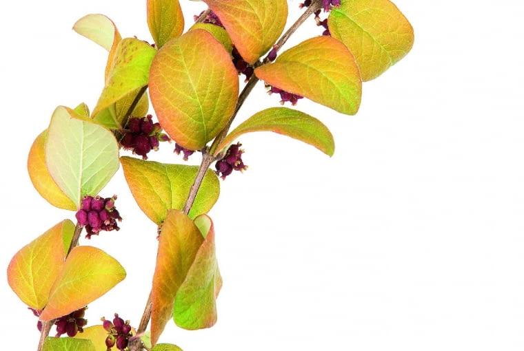 Śnieguliczka koralowa (S. orbiculatus), dawniej nazywana mąkoliną, dorasta do wysokości 1,5 m. Na jej omszonych pędach wyrastają parami nieduże liście, a pod nimi, na tegorocznych przyrostach, grona czerwonawych owoców o średnicy ok. 4 mm. Jesienią liście przebarwiają się na żółto i czerwono. Śnieguliczce koralowej nie służy jałowa i sucha ziemia. Jest też nieco wrażliwsza na mróz niż inne opisane gatunki, ale po przemarznięciu szybko się regeneruje.