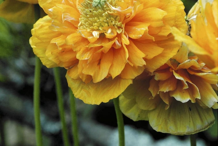 Meconopsis cambrica flore-pleno (Pavot jaune double). PapavEracEe SLOWA KLUCZOWE: Arktischer Mohn bl´hend Blume Bl´te Close Up fleur gelb Kambrischer Scheinmohn Meconopsis cambrica Mohn Mohnblume Nahaufnahme Papaveraceae Perennial Pflanze Pflanzen Portrait Pyren en-Scheinmohn Scheinmohn Speisemohn Staude Wald Scheinmohn