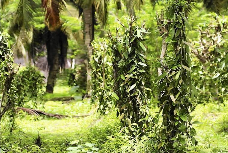 plantacja wanilii
