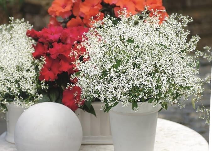 Kompozycja z kwitnacego na biało wilczomlecza 'Diamond Frost' oraz niecierpka z serii Rokoko. Rosliny te aż do jesieni tworzą w pojemnikach stale kwitnące kule.