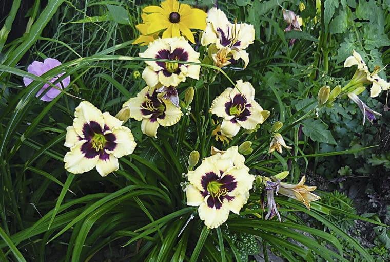 Rośliny to moja miłość: Liliowce