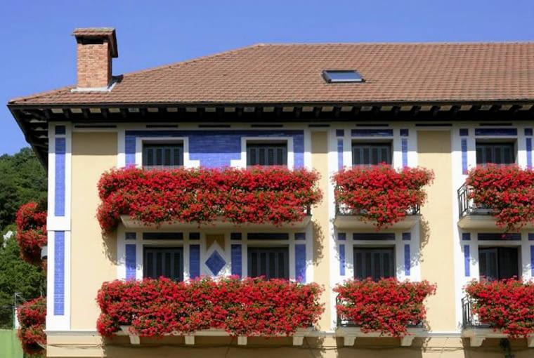 Pelargonia bluszczolistna, kwiaty balkonowe