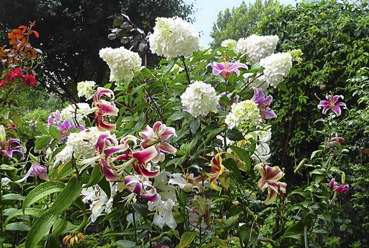 Hortensje bukietowe w towarzystwie moich ukochanych lilii orienpetów
