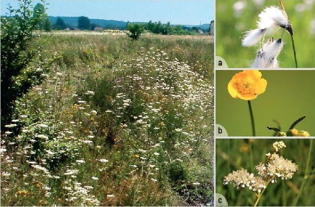 Gleby mokre są porośnięte bujną, zieloną roślinnością. Typowe rośliny to m.in. (a) wełnianka, (b) jaskier ostry i (c) wiązówka błotna.
