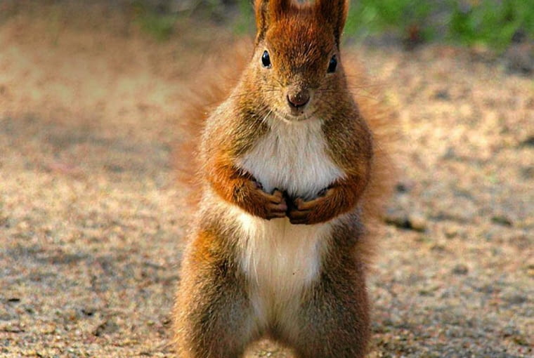 STAJĄC SŁUPKA, wiewiórka obserwuje otoczenie.