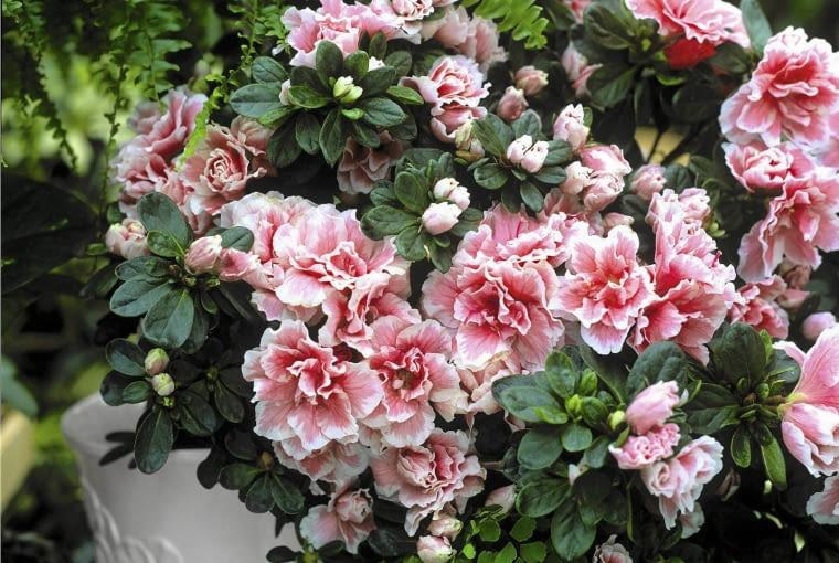 PotEe d'azalEe hyb, Hiver SLOWA KLUCZOWE: Azalee Beh?lter bl´hen bl´hend Bl´te Box Container Gef??e in Bl´te Pflanze Pflanzen pink rosafarben Topf Winter
