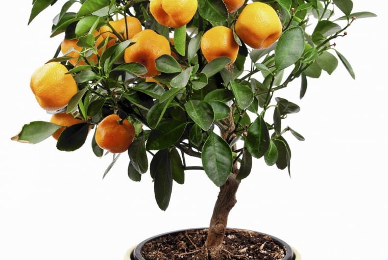 Small tangerines tree on white background. SLOWA KLUCZOWE: agriculture background bonsai branch citrus climate cultivated decorative farm floral flower food fresh fruit green growth healthy hobbies isolated juice lemon mandarine orange plant pot pruning small snack tangerine tree tropical white isolated floral flower food fruit green isolated juice lemon mandarine orange plant tangerine tree white agriculture background bonsai branch citrus climate cultivated decorative farm fresh growth healthy hobbies pot pruning small snack tropical