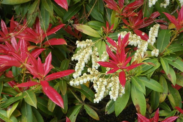 Pieris 'Wakehurst' - krzew na gleby kwaśne (wrzosowiska)
