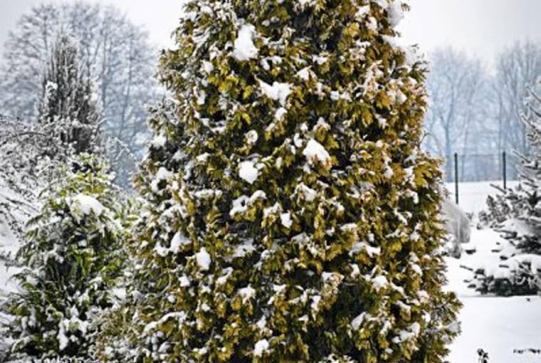 SLOWA KLUCZOWE: conifer iglaste jacek turkowiak golanice przydrozna irena