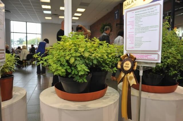 Tawuła brzozolistna 'Tor Gold' PBR - złoty medal w Konkursie Roślin Nowości 2012 na wystawie Zieleń To Życie