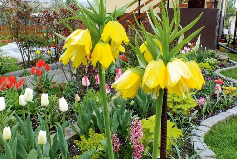 Wiosną królują u nas rośliny cebulowe: tulipany, hiacynty oraz wspaniałe korony cesarskie.