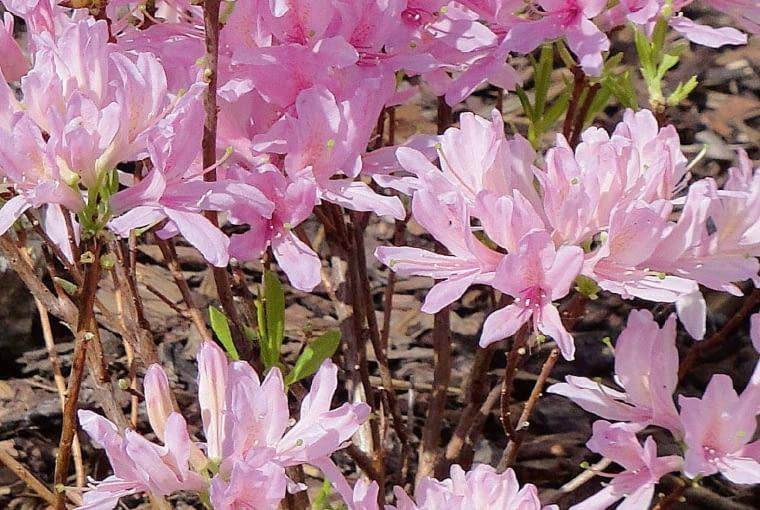 Azalia wielkokwiatowa - Rhododendron 'Western Lights'