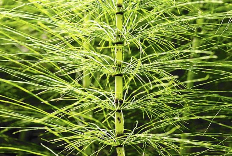 Skrzypy tworzą dwojakiego rodzaju pędy - na zdjęciu pędy letnie