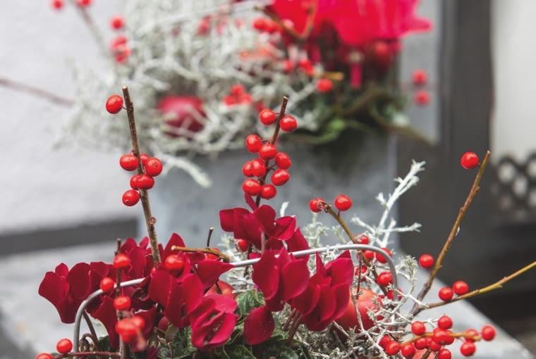 Zimowa kompozycja: czerwone cyklameny, srebrzysty kalocefalus z gałązkami ostrokrzewu okółkowego i rajskimi jabłuszkami, w chłodzie zachowają urodę do wiosny.