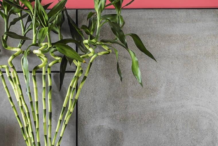 NAWILŻACZ DRACENĘ SANDERA (zwaną też Lucky Bamboo) można uprawiać w naczyniu z wodą, która parując, nawilża powietrze.