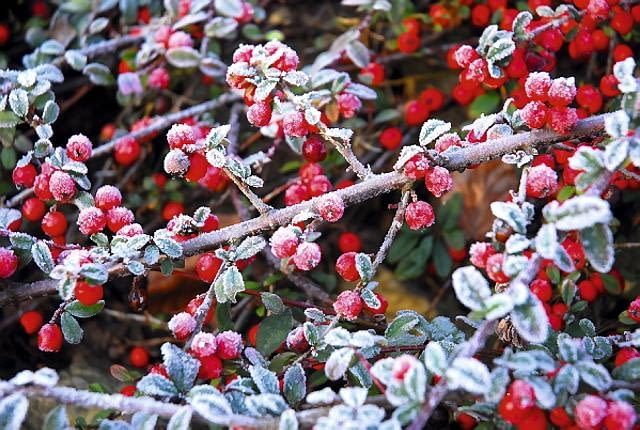 Ujmujące piękno początków zimy: oszronione irgi