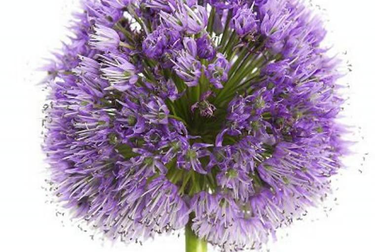 Czosnek olbrzymi (Allium giganteum) pojawia się na rabacie wkrótce po wiosennych kwiatach cebulowych. Ładnie wygląda w grupie. Lubi piaszczyste podłoże