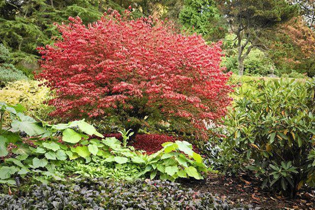 Autumnal foliage of a burning bush (Euonymus alata), Kubota, Seattle, WA, USA