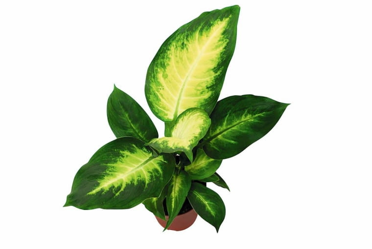 Dieffenbachia plant, isolated SLOWA KLUCZOWE: dieffenbachia plant tropical green leaf leaves pot home decoration life closeup isolated pattern houseplant araceae raphides dumb cane death poison poisonous dangerous beautiful indoor detail tropes vegetation flower flora florist potted bush white background grow growth decorative foliage interior nature
