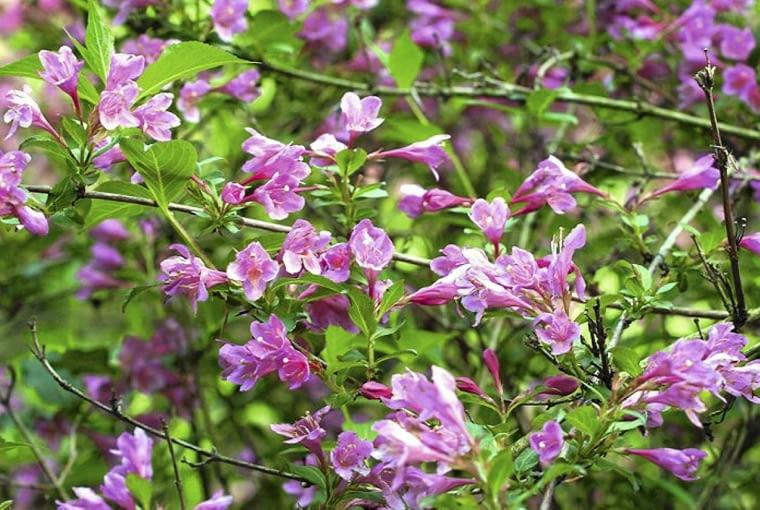Krzewuszka cudowna (Weigela florida). Rośliny kwitnące dwukrotnie w ciągu roku