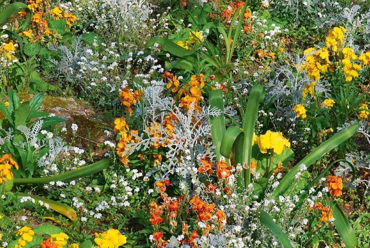 Żółty ipomarańczowy lak kwitnie pomiędzy niezapominajką obiałych kwiatach, asiwym starcem.